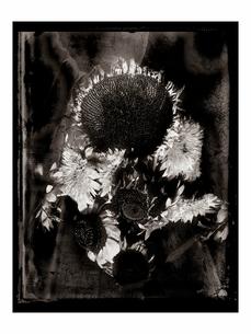 ヒマワリの花の写真素材 [FYI03206540]