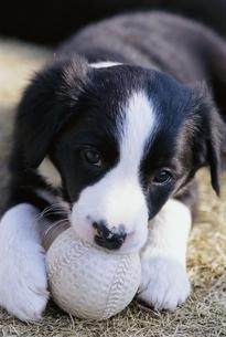 ボールで遊ぶ子犬(ボーダーコリー)の写真素材 [FYI03206554]
