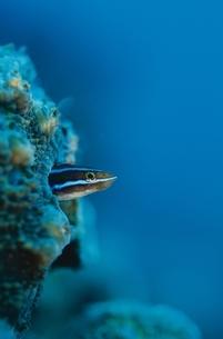 海中のミナミギンポのアップの写真素材 [FYI03206563]