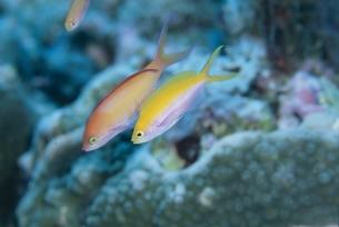 海中の2匹の魚(アカネ・フタイロハナゴイ)の写真素材 [FYI03206793]