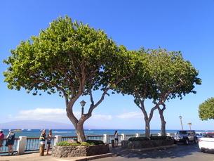 ラハイナの街路樹の写真素材 [FYI03206994]