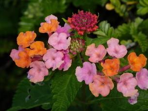 マウイの海辺の花の写真素材 [FYI03207024]