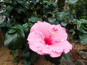 八丈島植物公園の中のハイビスカス(ピンク)の写真素材 [FYI03207049]