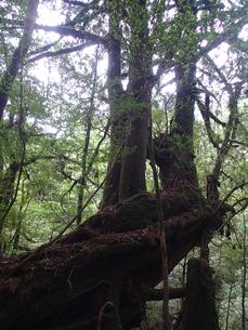 白谷雲水峡の三本槍杉の写真素材 [FYI03207092]