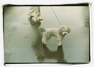 プードルを連れている日本人女性の足元の写真素材 [FYI03207236]