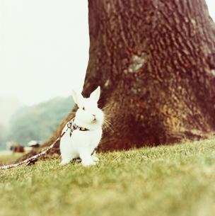 草原の木の幹そばに佇むウサギの写真素材 [FYI03207255]