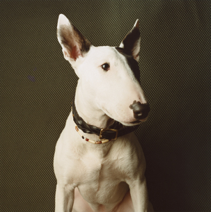 首輪をした一匹の白黒模様の犬(ブルテリア)の写真素材 [FYI03207343]