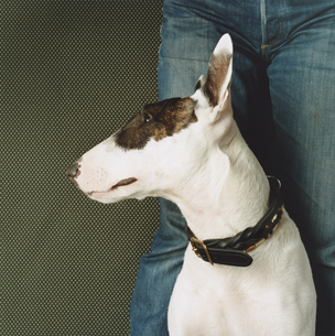 首輪をした一匹の白黒模様の犬(ブルテリア)の写真素材 [FYI03207355]