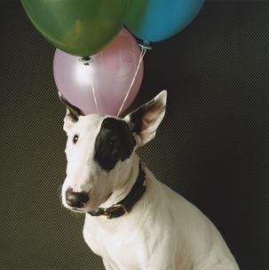 首輪をした一匹の白黒模様の犬(ブルテリア)の写真素材 [FYI03207356]