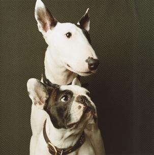二匹の犬(フレンチブルドック・ブルテリア)の写真素材 [FYI03207366]