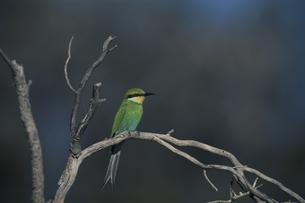 枝にとまるハチドリ ナタール州 南アフリカの写真素材 [FYI03207658]