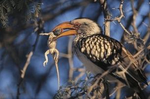 枝にとまりトカゲを食べるホーンブル カラハリ砂漠 南アフリカの写真素材 [FYI03207660]