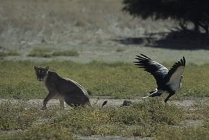 ヘビクイワシとオスのライオン 夏 カラハリ砂漠 南アフリカの写真素材 [FYI03207661]