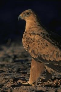 夕方のカラハリ砂漠のタカ(トニーイーグル) 南アフリカの写真素材 [FYI03207663]