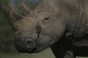シロサイと鳥 11月 シュルシュルウィ動物保護区 南アフリカの写真素材 [FYI03207668]