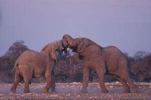 エトシャ国立公園の2頭のアフリカゾウ カラハリ砂漠 ナミビアの写真素材 [FYI03207669]
