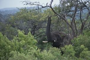 シュルシュルウィの森のアフリカゾウ 11月 南アフリカの写真素材 [FYI03207670]