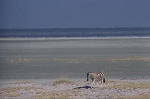 エトシャ国立公園のシマウマ カラハリ砂漠 ナミビアの写真素材 [FYI03207673]