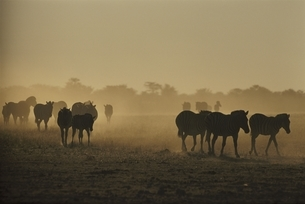 エトシャ国立公園のシマウマの群れ カラハリ砂漠 ナミビアの写真素材 [FYI03207676]