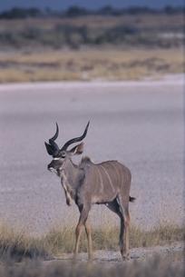 エトシャ国立公園のクーズー カラハリ砂漠 ナミビアの写真素材 [FYI03207680]