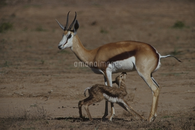 カラハリ砂漠のスプリングボックの親子 北ケープ州 南アフリカの写真素材 [FYI03207687]