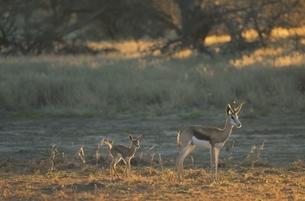 カラハリ砂漠のスプリングボックの親子 北ケープ州 南アフリカの写真素材 [FYI03207689]