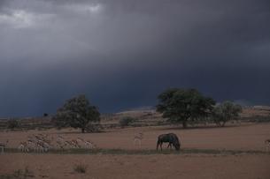 カラハリ砂漠のスプリングボックとヌー 3月 南アフリカの写真素材 [FYI03207690]