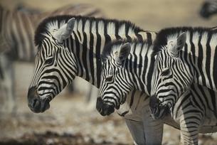 エトシャ国立公園の3頭のシマウマ カラハリ砂漠 ナミビアの写真素材 [FYI03207694]