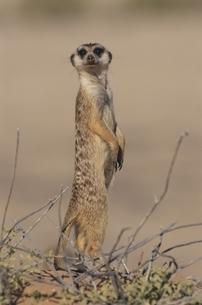 カラハリ砂漠のミーアキャット ゲムスボック国立公園 南アフリの写真素材 [FYI03207700]