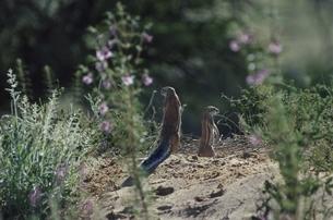 カラハリ砂漠の2匹のジリス ゲムスボックNP 南アフリカの写真素材 [FYI03207704]