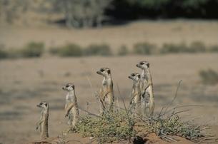 カラハリ砂漠の5匹のミーアキャット 南アフリカの写真素材 [FYI03207705]