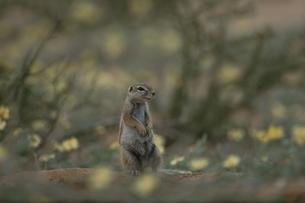 カラハリ砂漠のジリス 3月 北ケープ州 南アフリカの写真素材 [FYI03207706]