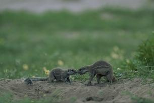 カラハリ砂漠のジリスの親子 北ケープ州 南アフリカの写真素材 [FYI03207707]