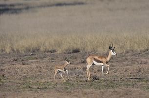 カラハリ砂漠のスプリングボックの親子 北ケープ州 南アフリカの写真素材 [FYI03207709]