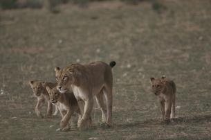 カラハリ砂漠の4頭のライオンの親子 北ケープ州 南アフリカの写真素材 [FYI03207710]