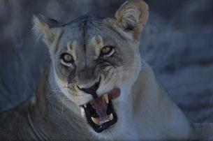 カラハリ砂漠のライオン 北ケープ州 南アフリカの写真素材 [FYI03207712]