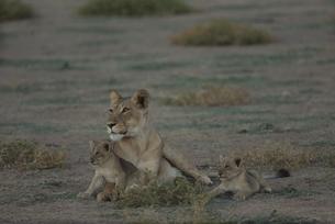 カラハリ砂漠の3頭のライオンの親子 北ケープ州 南アフリカの写真素材 [FYI03207713]
