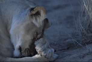 カラハリ砂漠のライオン 北ケープ州 南アフリカの写真素材 [FYI03207719]