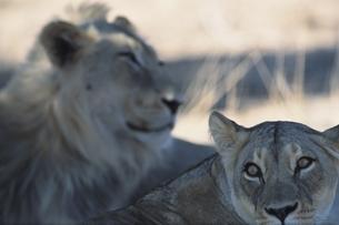 カラハリ砂漠の2頭のライオン 南アフリカの写真素材 [FYI03207723]