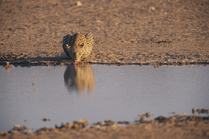 カラハリ砂漠のヒョウ ゲムスボック国立公園 南アフリカの写真素材 [FYI03207724]