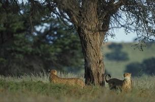 カラハリ砂漠の2頭のチーター ゲムスボックNP 南アフリカの写真素材 [FYI03207726]
