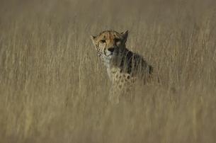 カラハリ砂漠のチーター ゲムスボック国立公園 南アフリカの写真素材 [FYI03207729]