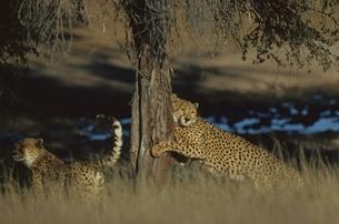 カラハリ砂漠の2頭のチーター ゲムスボックNP 南アフリカの写真素材 [FYI03207732]