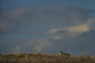 チーター   カラハリ砂漠 南アフリカの写真素材 [FYI03207740]