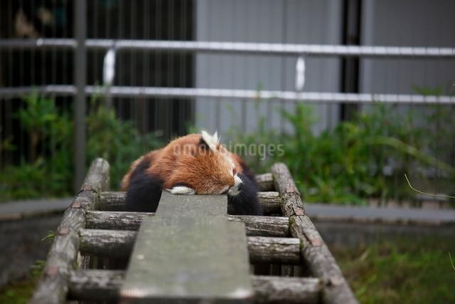 レッサーパンダの写真素材 [FYI03207751]