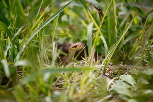 草の中から顔をのぞかせるシマヘビの写真素材 [FYI03207767]