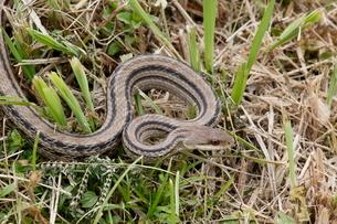 田んぼの畔に現れたシマヘビの写真素材 [FYI03207769]