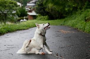 白い日本犬が田舎道を散歩するの写真素材 [FYI03207774]