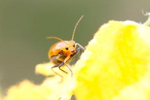 カボチャの花にとまったハムシの写真素材 [FYI03207777]