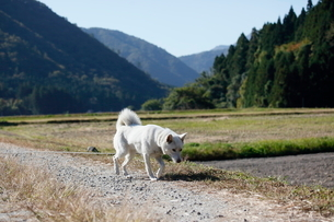 白い日本犬の写真素材 [FYI03207825]